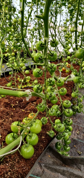 Vine crops, such as heirloom tomatoes, at the second green house.